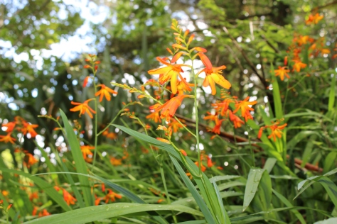 Wild Montbretia Growing Along Our House