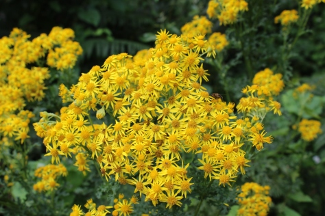 I Think This Bright Yellow Bush That Grows By Our House is Ragwort