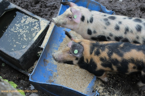 The Cloughjordan House Pigs (No we didn't eat them)